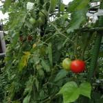 この雨のせいでトマトが割れる対策(家庭菜園)